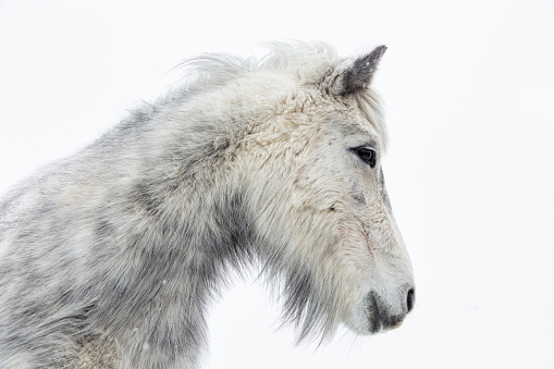 Horse「Portrait of an Icelandic Horse」:スマホ壁紙(12)