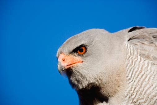 Eyesight「Portrait of Pale Chanting Goshawk (Malierax canorus) Against a Blue Sky」:スマホ壁紙(4)