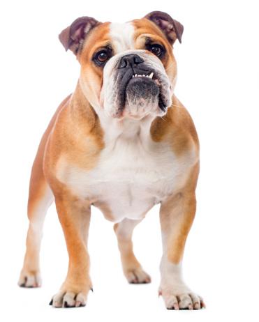 Brown Hair「Portrait of an English Bulldog」:スマホ壁紙(11)
