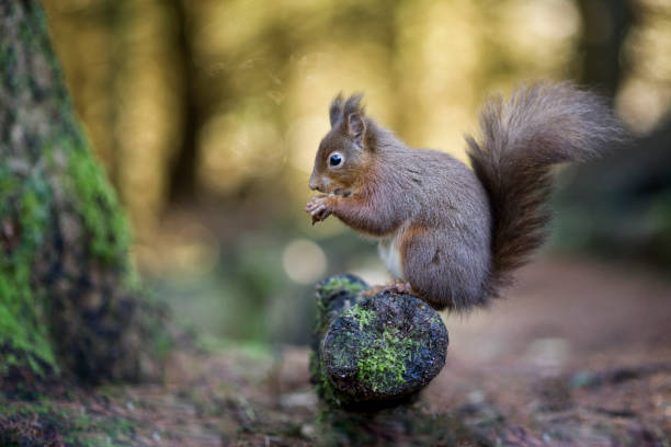 Portrait of eating red squirrel:スマホ壁紙(壁紙.com)