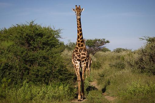 Giraffe「Portrait of a giraffe, Botswana」:スマホ壁紙(4)
