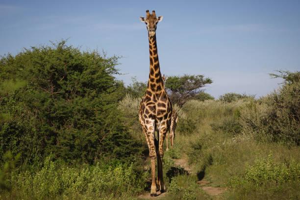 Portrait of a giraffe, Botswana:スマホ壁紙(壁紙.com)