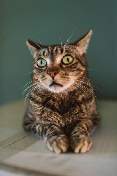 Portrait of staring cat:スマホ壁紙(壁紙.com)