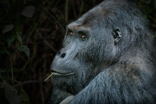コンゴ民主共和国「シルバー バック東ローランド ゴリラ、野生動物撮影、コンゴの肖像画」:スマホ壁紙(2)