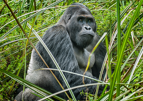 コンゴ民主共和国「シルバー バック東ローランド ゴリラ、野生動物撮影、コンゴの肖像画」:スマホ壁紙(1)