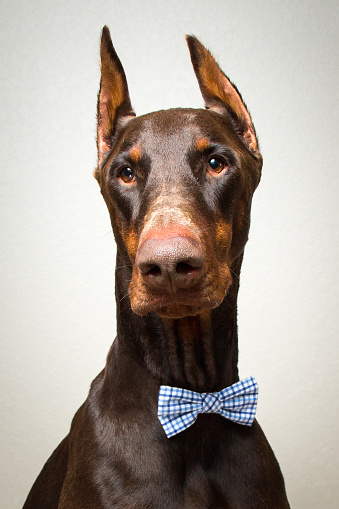 Bow Tie「Portrait of a red warlock doberman pinscher dog in bow tie」:スマホ壁紙(10)