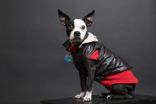Leather Jacket「Portrait of dog wearing leather jacket」:スマホ壁紙(4)