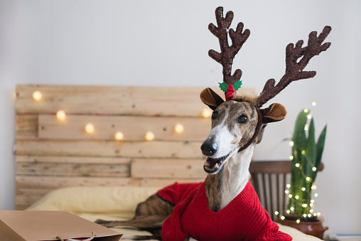 Sweater「Portrait of Greyhound wearing pullover and deer antler at Christmas time」:スマホ壁紙(11)