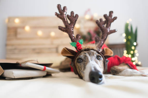 Portrait of Greyhound wearing deer antler headband:スマホ壁紙(壁紙.com)