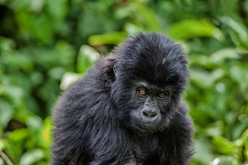 コンゴ民主共和国「赤ちゃん東ローランド ゴリラ、野生動物撮影、コンゴの肖像画」:スマホ壁紙(0)