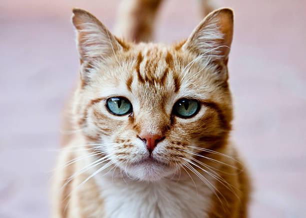 Portrait of ginger cat:スマホ壁紙(壁紙.com)