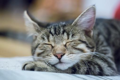 トラ猫「Portrait of sleeping cat」:スマホ壁紙(8)