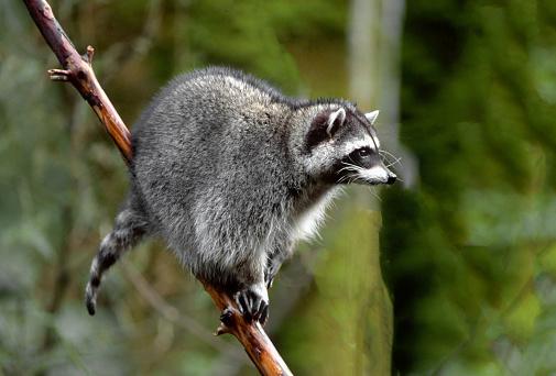 Raccoon「Portrait of Raccoon (Procyon lotor) in tree, Washington State, USA」:スマホ壁紙(8)