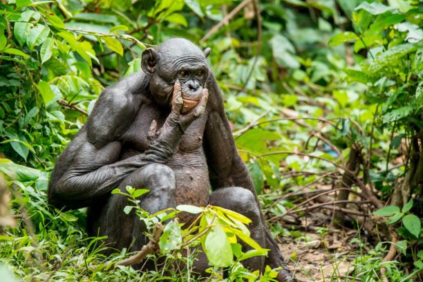 大人のピグミー チンパンジー (ボノボ、ピグミー チンパンジー) の肖像画撮影の珍しい野生動物:スマホ壁紙(壁紙.com)