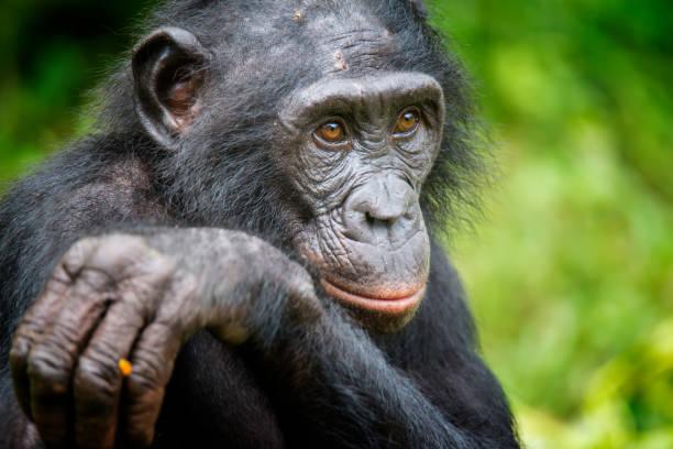 Portrait of an adult Bonobo (Pan paniscus, Pygmy Chimpanzee), rare wildlife shot:スマホ壁紙(壁紙.com)