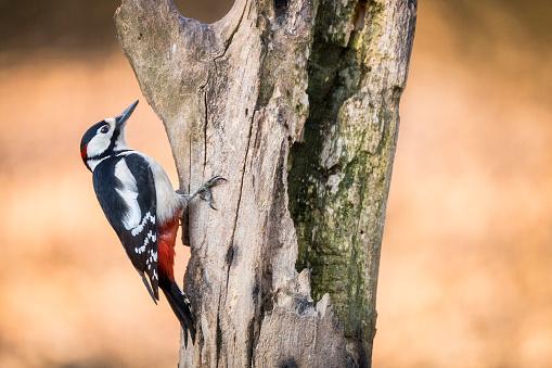 Crouching「Portrait of Great spotted woodpecker」:スマホ壁紙(10)