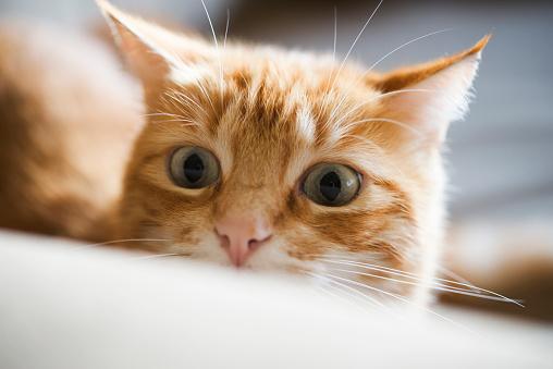 Iris - Eye「Portrait of ginger cat watching something」:スマホ壁紙(11)