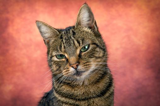 Green Eyes「Portrait of tabby cat in front of reddish background」:スマホ壁紙(19)