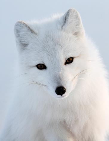 Arctic Fox「Portrait of White Polar Fox」:スマホ壁紙(7)