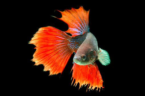 Siamese Fighting Fish「Portrait of a beta fish」:スマホ壁紙(14)