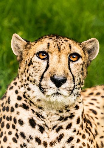 African Cheetah「Portrait of hunting cheetah in high grass」:スマホ壁紙(8)