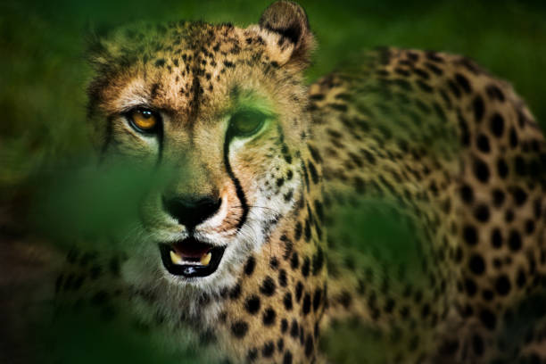 Portrait of hunting cheetah in high grass:スマホ壁紙(壁紙.com)