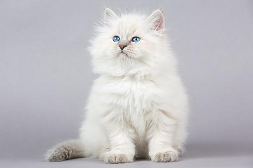 Kitten「の肖像シベリアキトン」:スマホ壁紙(17)