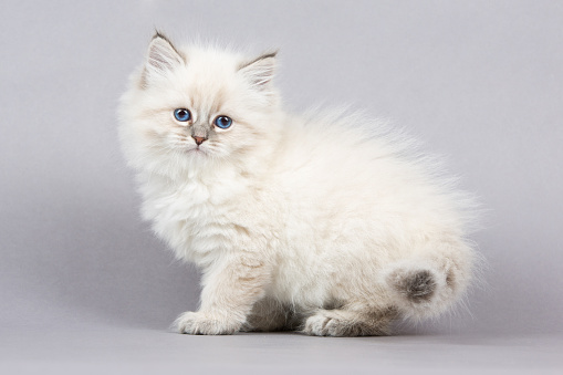 Kitten「の肖像シベリアキトン」:スマホ壁紙(16)