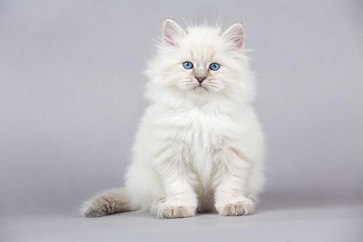 純血種のネコ「の肖像シベリアキトン」:スマホ壁紙(19)