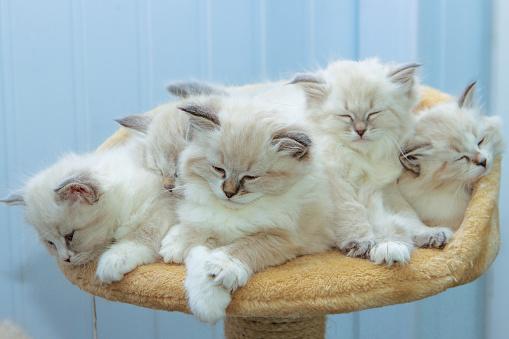 Mixed-Breed Cat「Portrait of Siberian kitten, studio shoot」:スマホ壁紙(18)