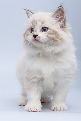 Mixed-Breed Cat「Portrait of Siberian kitten, studio shoot」:スマホ壁紙(6)