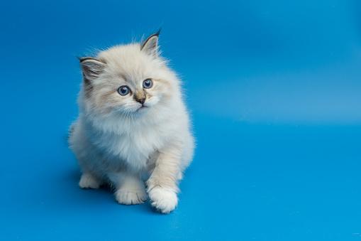Mixed-Breed Cat「Portrait of Siberian kitten, studio shoot」:スマホ壁紙(9)