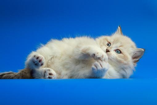 Mixed-Breed Cat「Portrait of Siberian kitten」:スマホ壁紙(10)