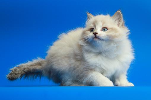 Mixed-Breed Cat「Portrait of Siberian kitten」:スマホ壁紙(2)