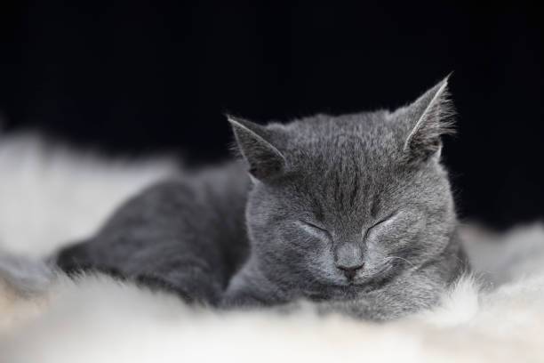 Portrait of sleeping Chartreux kitten lying on fur:スマホ壁紙(壁紙.com)