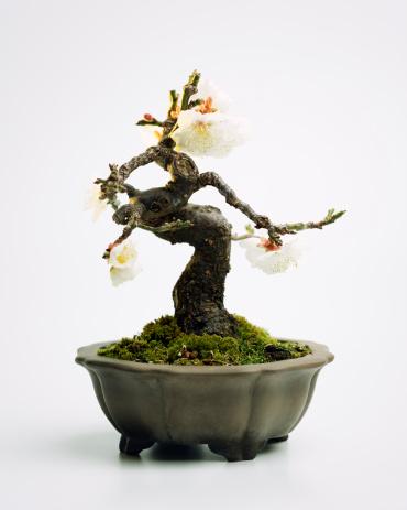 梅の花「Prunus mume 盆栽」:スマホ壁紙(0)