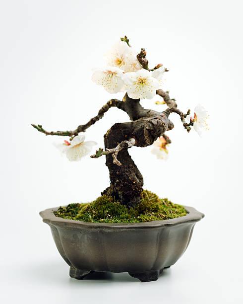 Prunus mume 盆栽:スマホ壁紙(壁紙.com)