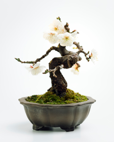 Back Lit「Prunus mume bonsai」:スマホ壁紙(4)