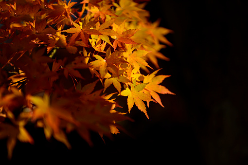 紅葉「Autumn leaves on a tree, Kyoto, Japan」:スマホ壁紙(18)