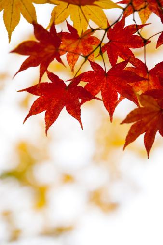 紅葉「秋の落ち葉」:スマホ壁紙(14)