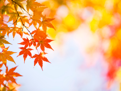 Japanese Maple「Autumn Leaves」:スマホ壁紙(4)