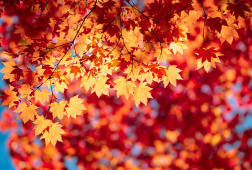 Japanese Maple「Autumn Leaves XXXL」:スマホ壁紙(17)
