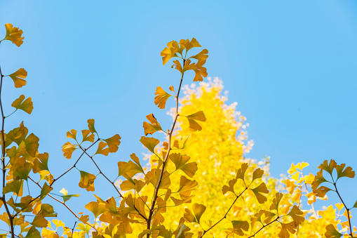 明治神宮外苑「Autumn leaves Ginkgo Trees are glowing and shaking in the blue sky at the Ginkgo Tree Avenue in Jingu Gaien, Chhiyoda Ward, Tokyo Japan on November 17 2017.」:スマホ壁紙(13)