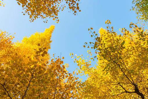 明治神宮外苑「Autumn leaves Ginkgo Trees are glowing and shaking in the blue sky at the Ginkgo Tree Avenue in Jingu Gaien, Chhiyoda Ward, Tokyo Japan on November 17 2017.」:スマホ壁紙(16)