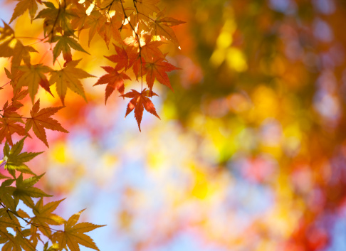 Japanese Maple「Autumn Leaves with Sunlight」:スマホ壁紙(11)
