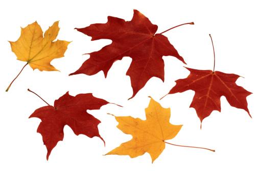 サトウカエデ「Autumn Leaves」:スマホ壁紙(4)