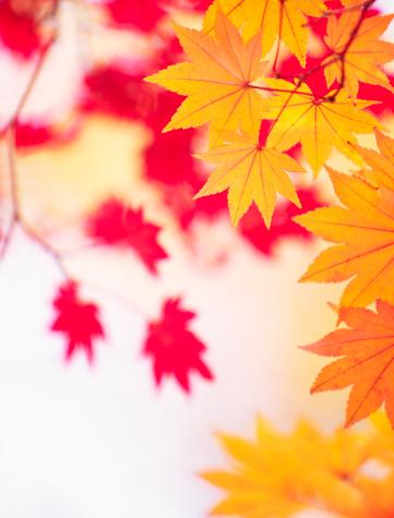 Japanese Maple「Autumn Leaves」:スマホ壁紙(7)