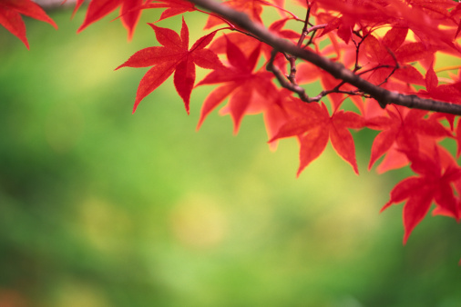 Japanese Maple「Autumn leaves」:スマホ壁紙(17)