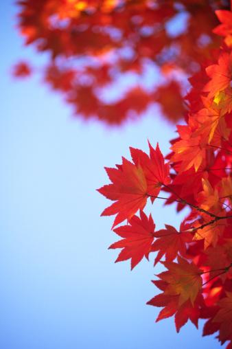 Japanese Maple「Autumn leaves」:スマホ壁紙(6)