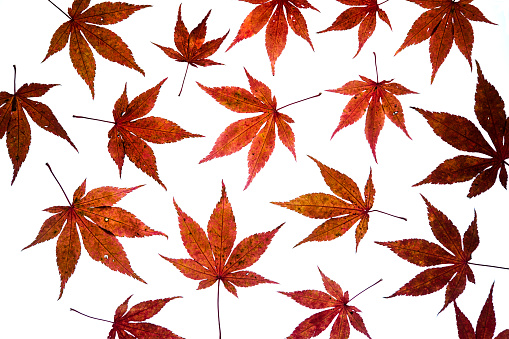 紅葉「Autumn leaves of Japanese Maple on white ground」:スマホ壁紙(10)